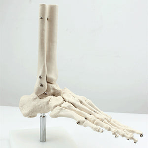 Foot and Ankle Skeleton Joint Model SJ125