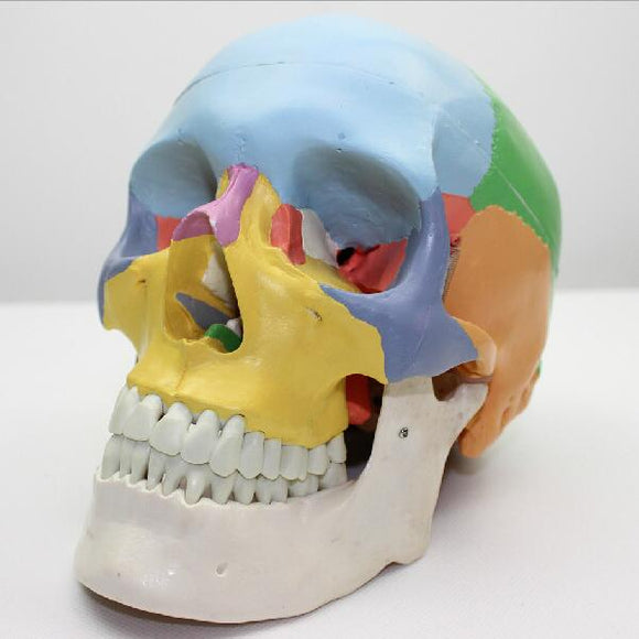 Colored Human Skull Model 3 Parts SJ109