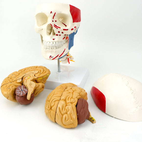 Painted Human Skull Model with Brain 11 Parts SJNJR