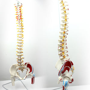 Classic Flexible Spine Model with Femur Heads and Painted Muscles SJ344A