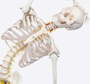 Life Size 170cm Flexible Human Skeleton Model Can be disassembled SJ101A-WQ