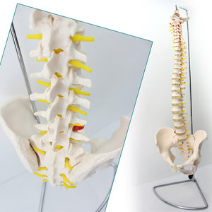Classic Flexible Spine Model with Pelvis Euro Version SJ343A