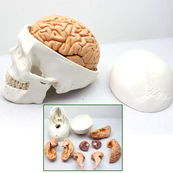 Human Skull Model with Brain Anatomy Neurology 11 parts SJ111N
