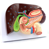 Liver with Gall Bladder, Pancreas and Duodenum DJ222X