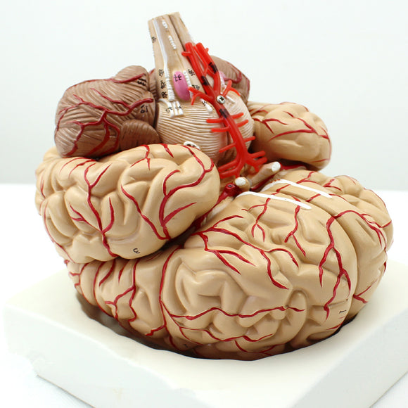 Brain Model with Arteries Professional medical version 8 Parts BJ729