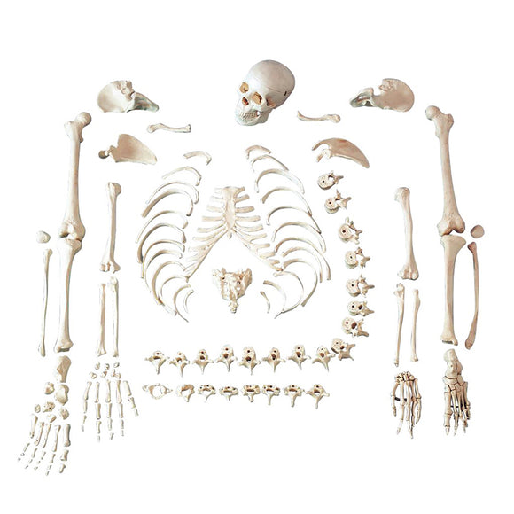 Life Size Disarticulated Human Skeleton Model SJ101S