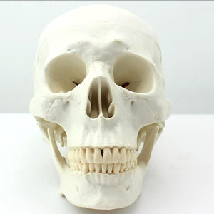 Asian Version Human Skull Model 3 Parts SYZTG