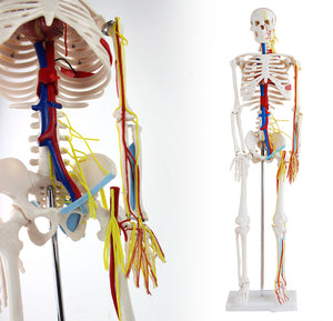 85cm Mini Human Skeleton Model with Nerves Blood Vessels SJ102B