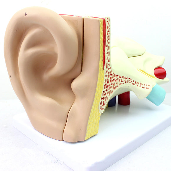 Ear anatomical model 4 times Life-size 5 Parts EJ198A