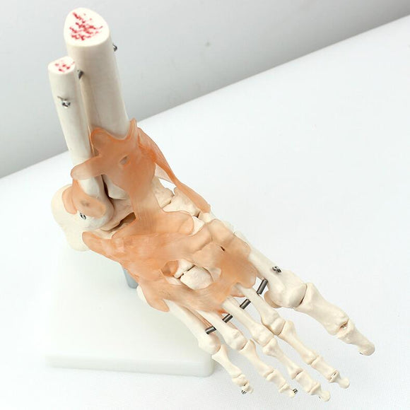 Foot and Ankle Skeleton Joint Model with Ligaments SJ125A
