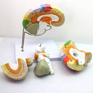 Didactic Functional Brain Model 2 Times Life-size 4 Parts BJFDN