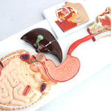 Digestive System Life-size 3 Parts New Version DJ215A