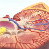 Kidney Section 3 Times Full-size High-Grade Edition UJ750B