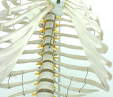 Classic Flexible Spine Model with Ribs and Femur Heads Ligaments SJ125LT