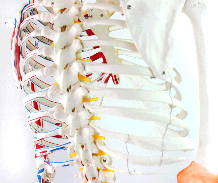 Life Size 170cm Human Skeleton Model With Muscles And Ligaments