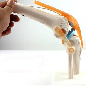 Functional Knee Joint Model SJ123