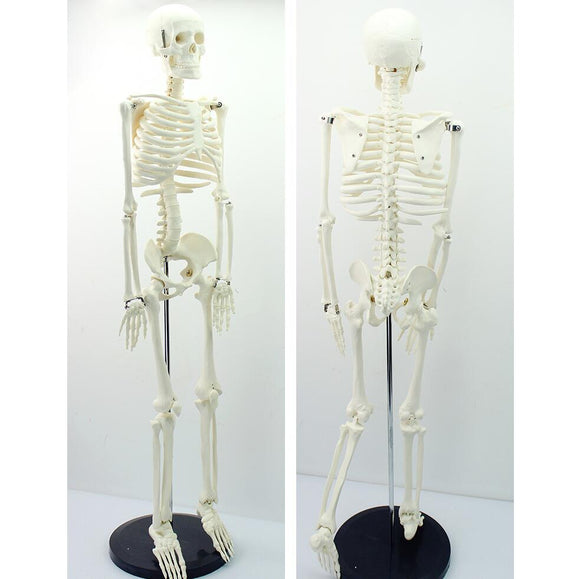 Classic 85cm Mini Human Skeleton Model White On Pelvic Stand SJ85G