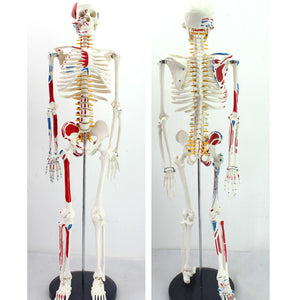 85cm Mini Human Skeleton Model with Painted Muscles Vertebral Column SJ85Z