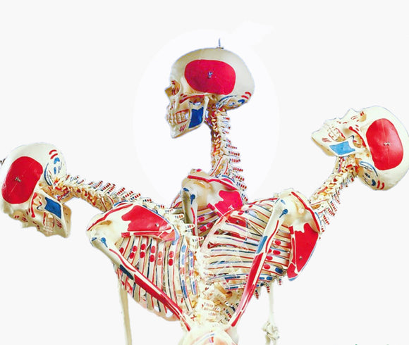 Life size 170cm Flexible Human Skeleton Model with Muscles and Ligaments SJ101WQ