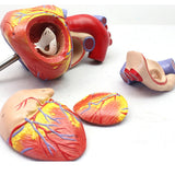 2X Life-size Anatomical Heart Model 4 Parts With Stand OJ141A