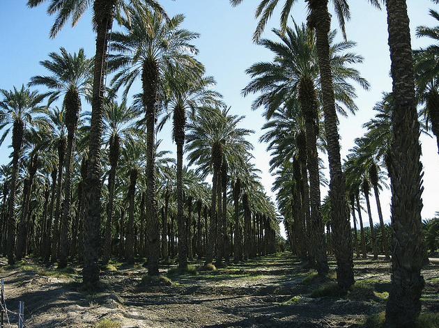 Date Palms at Oasis Date Gardens