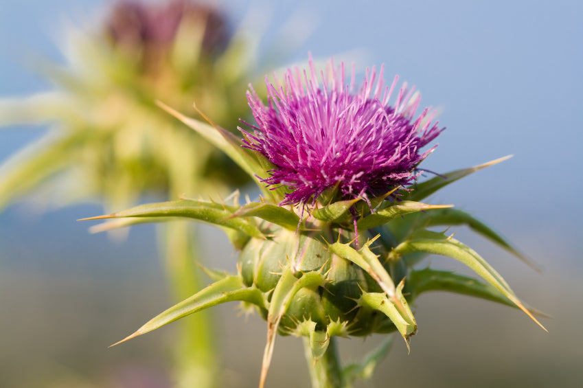 5 Amazing Health Benefits of Milk Thistle