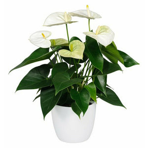 Potted Anthurium Plant - Victoriana Florist Upper Hutt