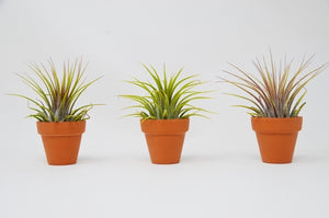 3 Ionantha Air Plant with Terra Cotta Pots - Small