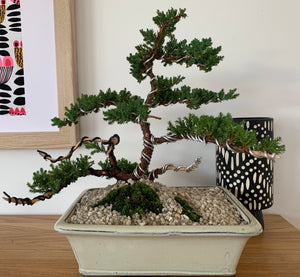 Bonsai Lessons