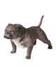 American Bully Exotic Statue 1:1 Real Size - Available for Pre-Order