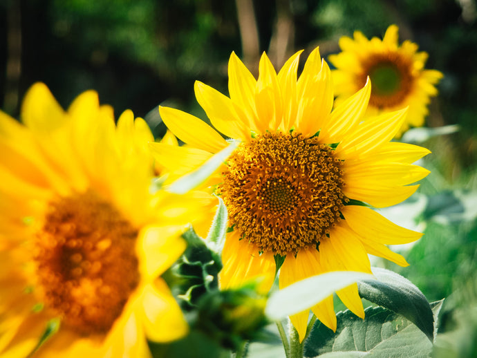 Flower favour focus: Sunflowers