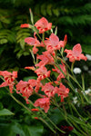 Cottage Gladioli - Pack of 3