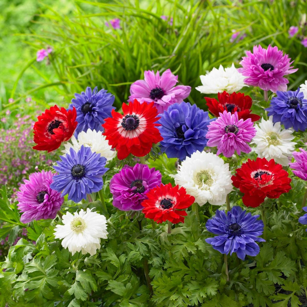 Anemone St Brigid Mix - Pack of 20