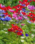 Anemone De Caen - Pack of 20