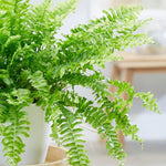 Gardener Mum - Boston Fern