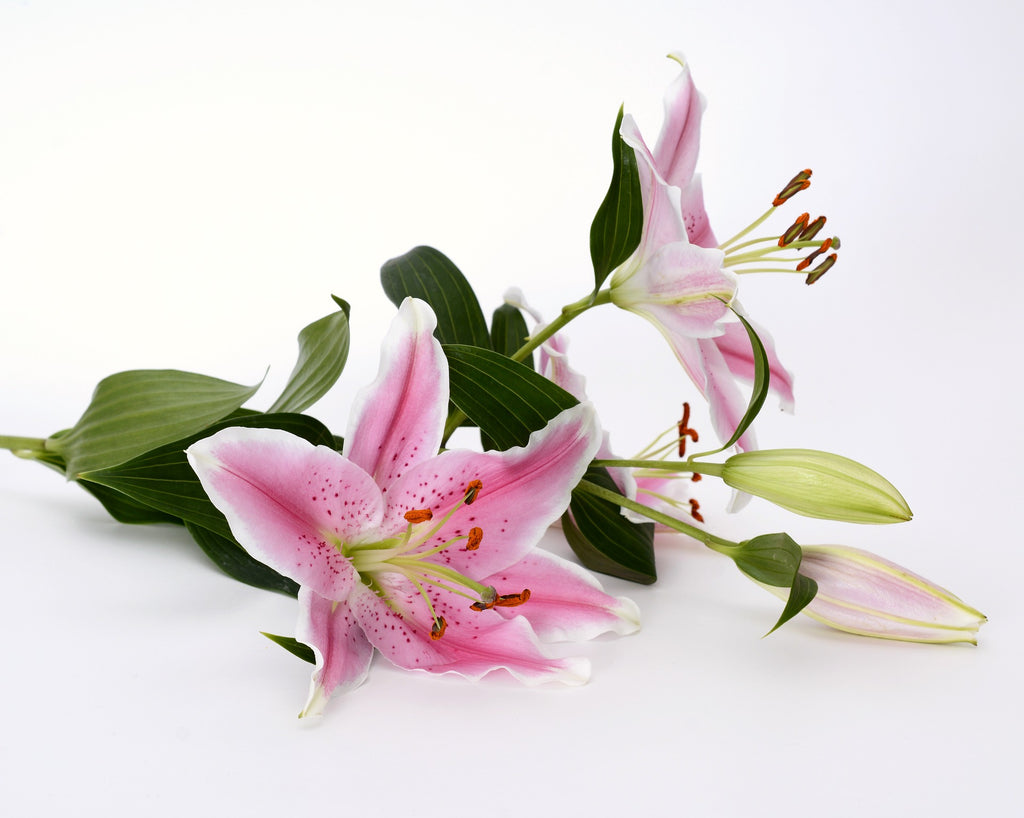 Christmas Liliums