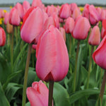Tulip - Pink Impression - Pack of 5
