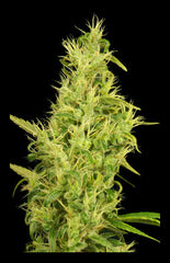 Sunshine - <i>Feminized 6 seeds</i> - Vancouver Seed Bank