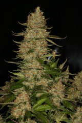 Atomic Northern Lights - <i>10 seeds non feminized</i> - Vancouver Seed Bank