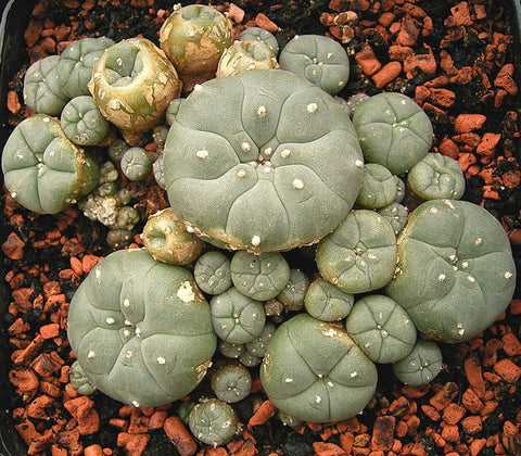 Peyote - Lophophora williamsii