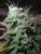 Northern Flame - <i>10 seeds non feminized</i> - Vancouver Seed Bank