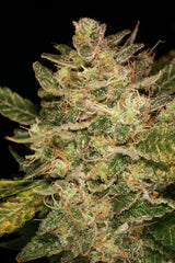 Atomic Haze - <i>10 seeds non feminized</i> - Vancouver Seed Bank