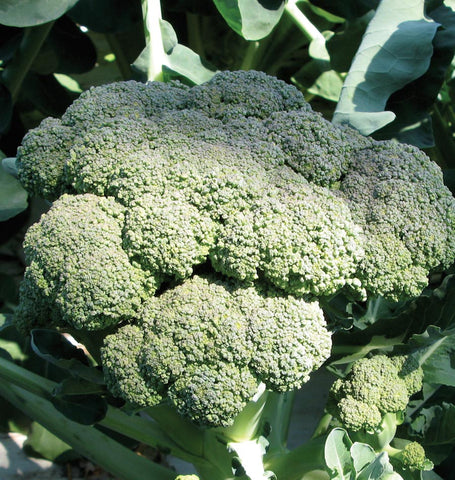 Broccoli - Calabrese