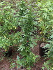 Donkey Dick - <i>10 seeds per pack Non Feminized</i> - Vancouver Seed Bank
