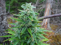 Mystic Vale - <i>10 seeds non feminized</i> - Vancouver Seed Bank
