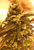 Nuken - <i>10 seeds non feminized</i>
