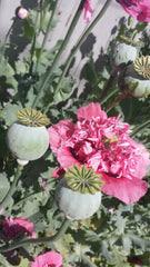 Opium Poppy Seeds - Vancouver Seed Bank