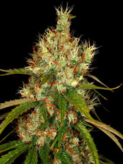 Thai Lights - <i>10 seeds non feminized</i> - Vancouver Seed Bank