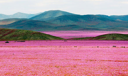 Myth in Desierto Florido, Chile (Atacama desert north of Santiago)