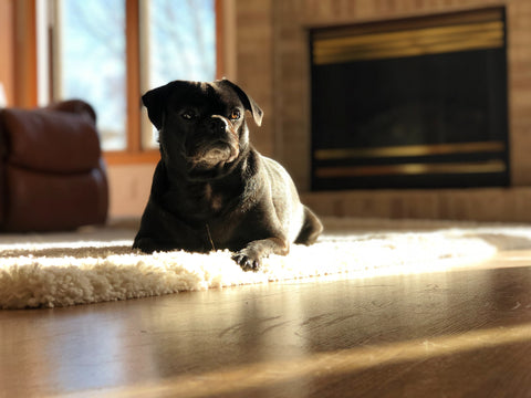 A black pug laying on a white area rug. Behind the dog is a black and gold fireplace, a window, and a rust-colored couch.